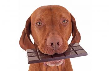 Pourquoi ne pas donner de chocolat à son chien ?